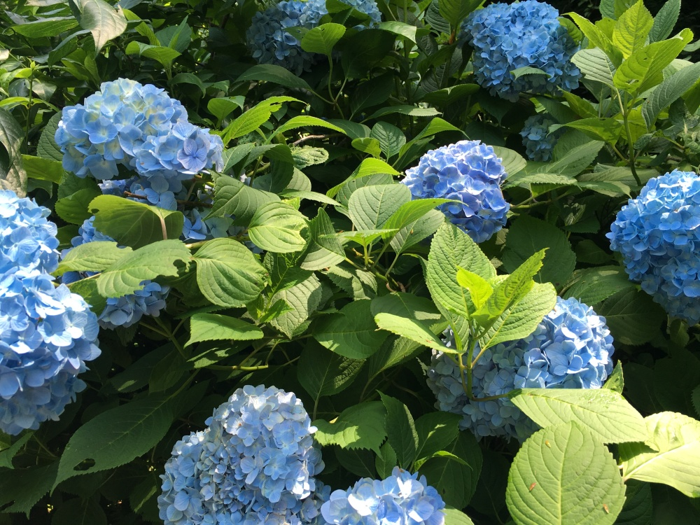 hydrangeas in japan