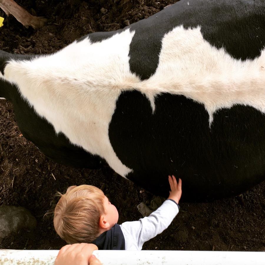 hattori farm cows
