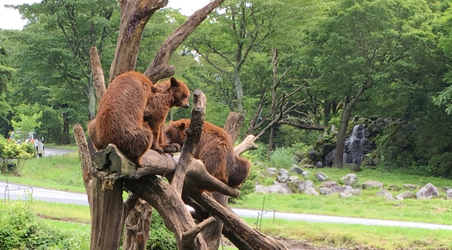 bears at Fuji Safari Park