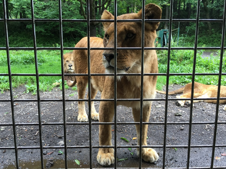 Lions at Fuji Safari Park