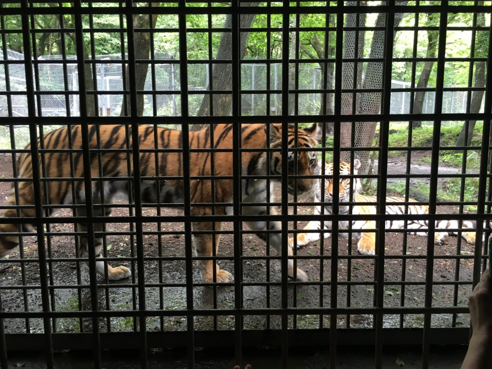 Tigers in Japan