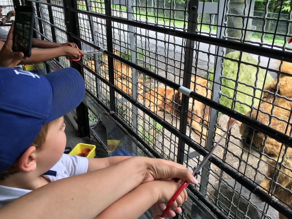 Feeding Lions