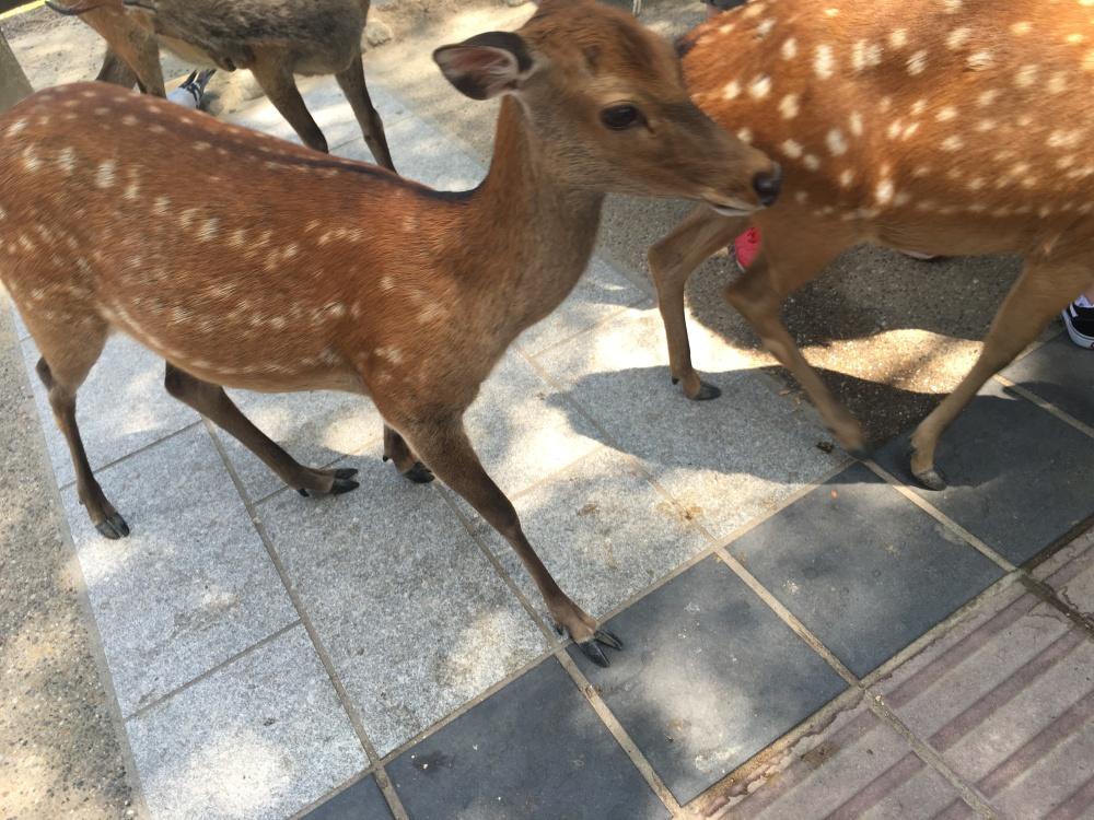 wild deer in Japan